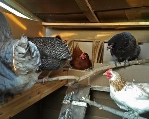 Coucher de poules