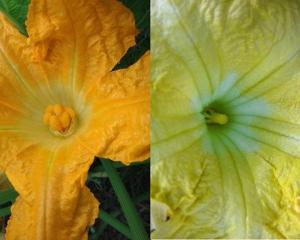 Fleur femelle ... et ... fleur mâle